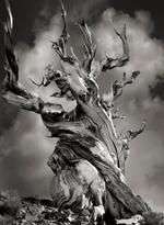 Beth Moon: Bristlecone Pine
