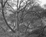 Blaine Ellis: tree circle, 2001