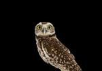Brad Wilson: Burrowing Owl #1, Espanola, NM, 2013