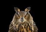 Brad Wilson: Eurasian Eagle Owl #1, St. Louis, MO, 2012
