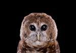 Brad Wilson: Spotted Owl #1, Espanola, NM, 2011