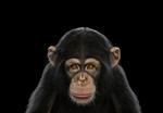 Brad Wilson: Chimpanzee #6, Los Angeles, CA, 2010