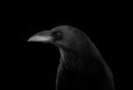 Brad Wilson: Raven #4, 2019