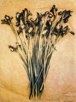 Diana Bloomfield: Debbie's Siberian Irises, 2018