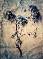 Diana Bloomfield: Dried Hydrangeas, 2018