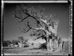 Elaine Ling: Baobab, Tree of Generations #1