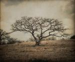 Kate Breakey: Bare Tree, Mexico