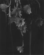 Elvira Piedra: Pale Flowers, Lama, 2003