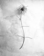 LOCAL EIGHT: James Pitts – Dried Clematis Blossom, 1995