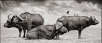 Nick Brandt: Buffalo Group Portrait, Amboseli, 2006