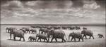 Nick Brandt: Elephant Herds Crossing Lake Bed in Sun, Amboseli, 2008