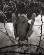 Nick Brandt: Calcified Bat, Lake Natron 2010