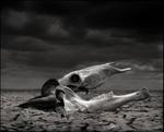 Nick Brandt: Wildebeest Skull in Lake Bed, Amboseli 2010
