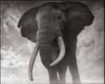 Nick Brandt: Elephant Against Sky, Amboseli 2011