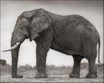 Nick Brandt: Elephant with One Tusk, Amboseli, 2012