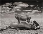 Nick Brandt: Lioness & Wildebeest, Amboseli, 2012