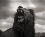 Nick Brandt: Lion Roar, Maasai Mara, 2012