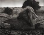 Nick Brandt: Lion on Burned Ground, Serengeti, 2012