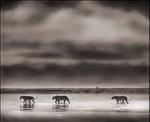 Nick Brandt: 3 Lions Crossing Lake, Ngorongoro Crater, 2000