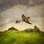 Tom Chambers: Dark-phase Falcon